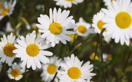 6854447-chamomile-flowers